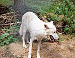 wolf alte fasanerie
