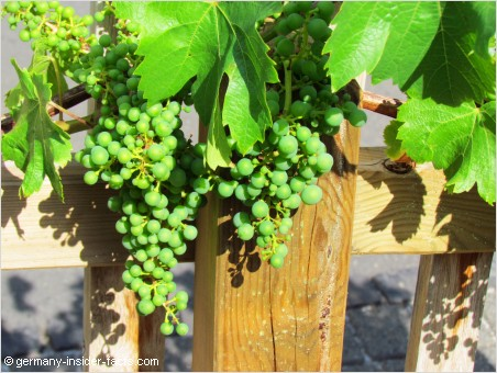 grapes in the mosel valley